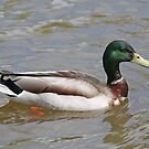 Mallard Duck by Karl R. Martin