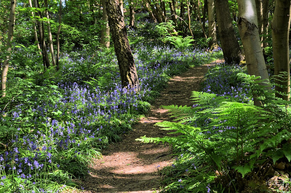 Bluebell Woods by JEZ22