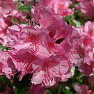 Precious Pink Azalea by Lee d'Entremont