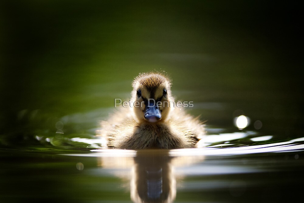 The Inquisitive Duckling by Peter Denness