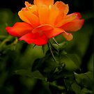 SUNSET ROSE by RoseMarie747