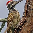 Cardinal woodpecker by Anthony Goldman