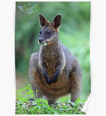 Black Wallaby or Swamp Wallaby Poster