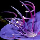 tibouchina by Helenvandy