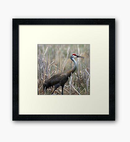 Sandhill Crane Surprise Framed Print