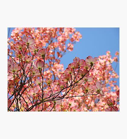 Trees art Pink Dogwood Tree Flowers Blue Sky Baslee Troutman Photographic Print