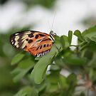 Longwing Butterfly by Karen K Smith