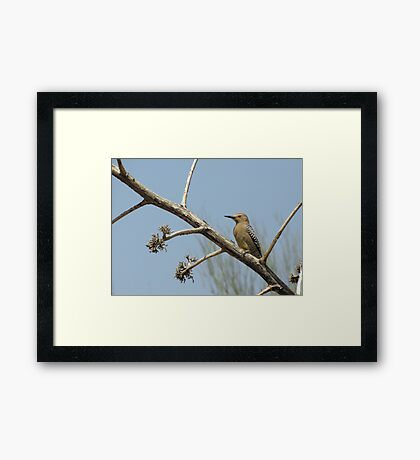 Gila Woodpecker ~ Male Framed Print