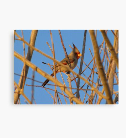 Pyrrhuloxia (Male) ~ Sunset Sir Canvas Print