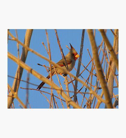 Pyrrhuloxia (Male) ~ Sunset Sir Photographic Print