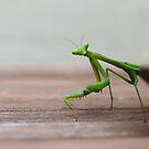 Mantis just passing through by Mick Kupresanin