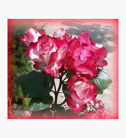 The most beautiful roses Photographic Print