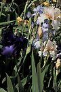 Auvers Iris D by Dominique Meynier