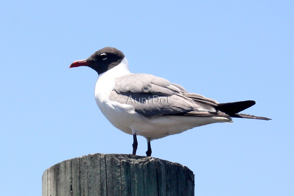 Laughing Gull by AuntDot