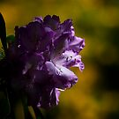 Moody Rhododendron by Elaine123