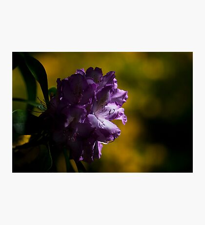Moody Rhododendron Photographic Print