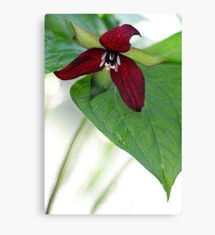 Scarlet Trillium - Light Morning Rain Canvas Print
