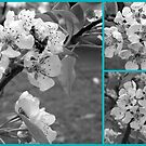 Black and White Tree Blossoms by debbiedoda