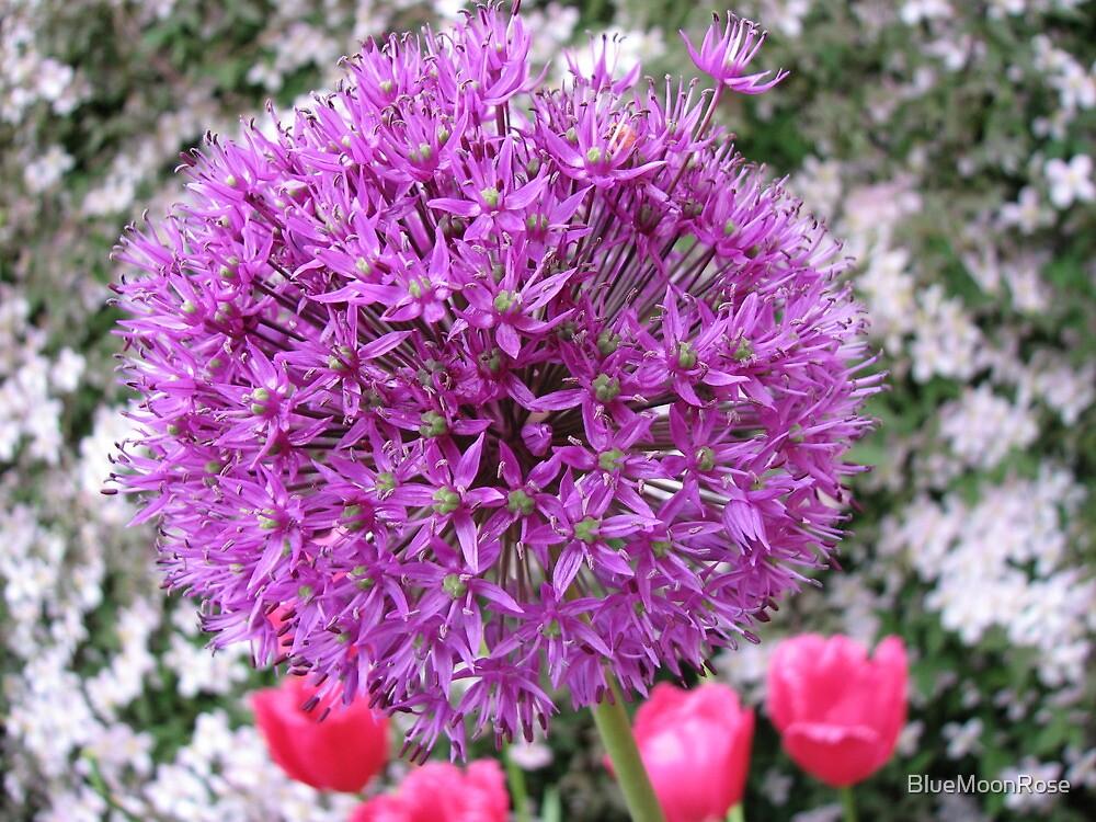 Purple Sensation - Allium and Pink Tulips by BlueMoonRose