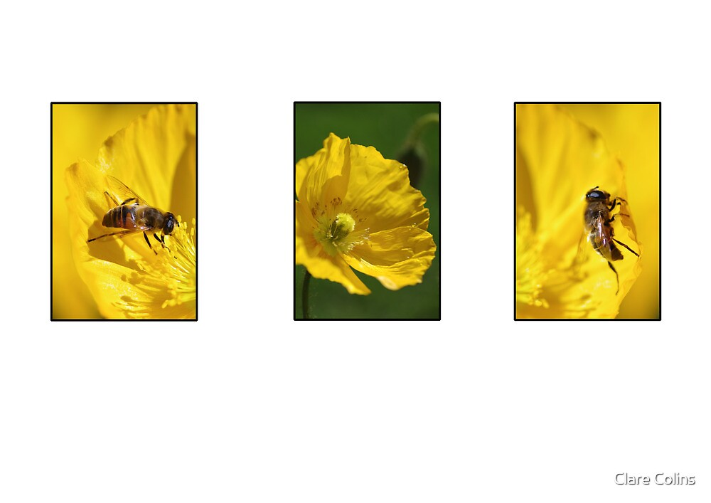 bees on yellow poppies by Clare Colins