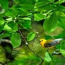 Prothonotary Warbler Singing Away by J Jennelle