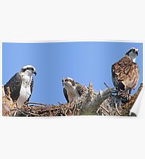 Mother`s day osprey style! Poster