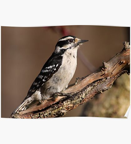 Downy Woodpecker / Female Poster