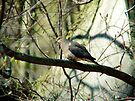 Mourning Dove by Marcia Rubin