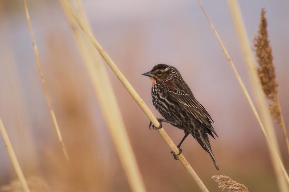 Female Redwing Blackbird by Jessica Dzupina