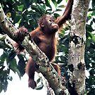 Baby Orangutan, Borneo  by Carole-Anne