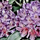 Rhododendrons in Bloom by Karen Kaleta