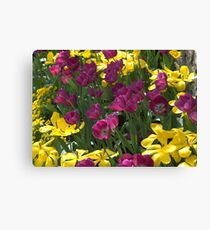 Purple and yellow tulips Canvas Print