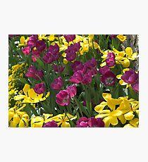 Purple and yellow tulips Photographic Print