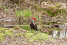 Pileated Woodpecker (Dryocopus pileatus) by Mike Oxley