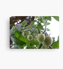 Pending Tomatoes Canvas Print