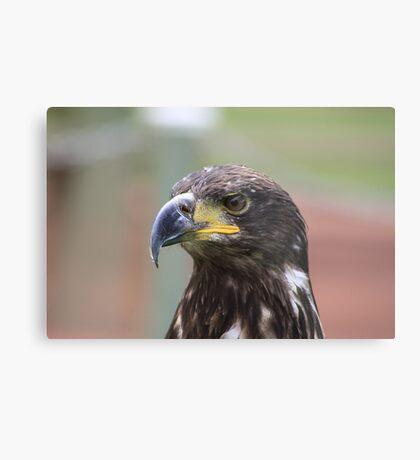 Juvenile Bald Eagle Metal Print