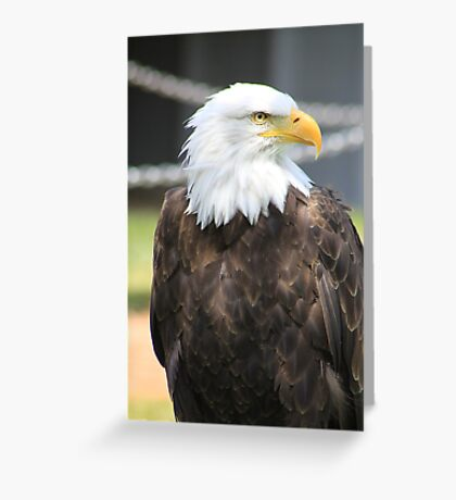 "Bald Eagle - ""Jefferson"" Greeting Card"