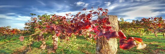 Vines of Shiraz Panorama by Shannon Rogers