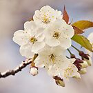 Cherry Blossoms by Holly Stanley
