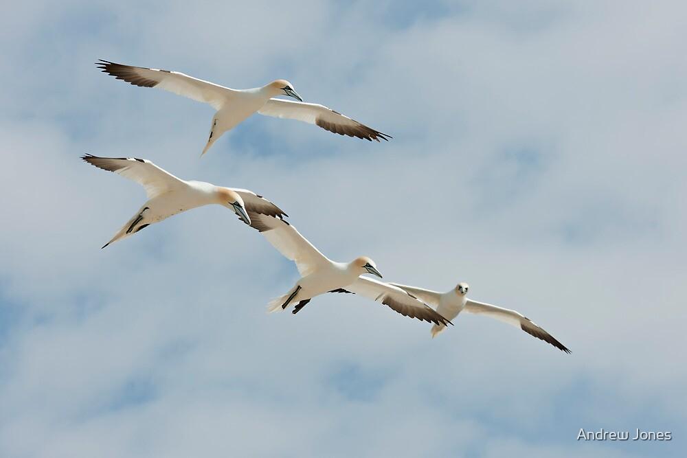 Let's join hands! Gannets, Saltee Island, County Wexford, Ireland by Andrew Jones