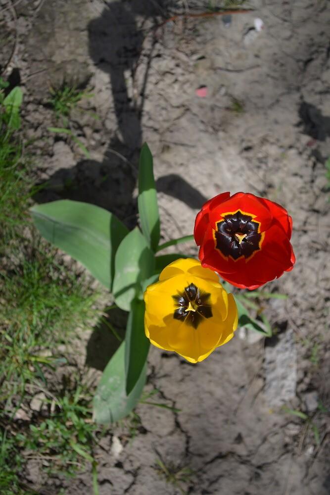Red and yellow tulips by mayatut
