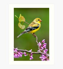 American Goldfinch in Spring Season Art Print