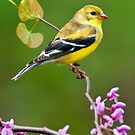 American Goldfinch in Spring Season by Michael Mill