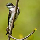 Young Tree Swallow by Michael Cummings