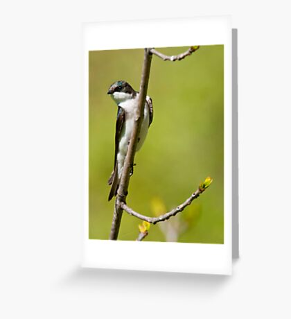 Young Tree Swallow Greeting Card