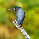 Green Heron on Log by J Jennelle