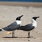 Two Laughing Gulls by RebeccaBlackman