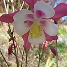 Aquilegia in the Wilderness by DEB CAMERON