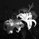 Lillies in sunlight (landscape) by RKLazenby