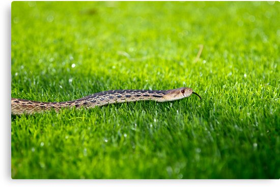 Snake in the Grass by Robby Ticknor